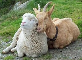 sheepandgoat